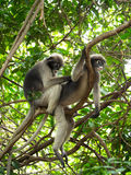 Family of monkeys resting on vines and one monkey looking for at other fleas. On a background of leaves Royalty Free Stock Photography