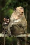 Family of monkeys Stock Photography