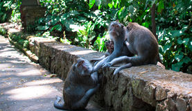 A family of monkeys Stock Images
