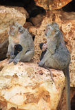 Family of monkeys. Stock Photo
