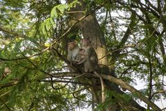 A family of monkeys sitting on a tree in the forest of Sanjay Gandhi National Park stock images