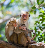 Family of monkeys sitting in a tree. Funny picture. Sri Lanka. Stock Images