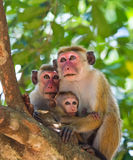 Family of monkeys sitting in a tree. Funny picture. Sri Lanka. Royalty Free Stock Photography