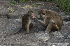 Family of monkeys taken care. Sri Lanka. Family of monkeys wiping and taken care. Sri Lanka royalty free stock photo