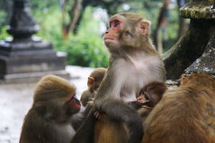 Family of monkeys in temple. Nepal Himalayan scene taken whilst trekking around the Annurpurna Circuit + Sanctuary trek Royalty Free Stock Image