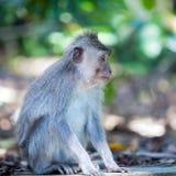 Family of Monkeys in Temple Park, Bali Stock Photo