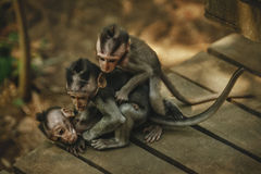 Family of monkeys Royalty Free Stock Photography