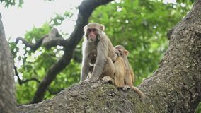Family of monkeys on a tree. A female macaque with two cubs on a tree. Jungle of Asia. Wild monkeys live in the forests of Nepal and India stock video