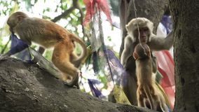 Family of monkeys on a tree. A female macaque with two cubs on a tree. Many monkeys live in the city of Kathmandu. Many monkeys live near the temple of stock footage