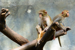Family of monkeys in the trees. Royalty Free Stock Images