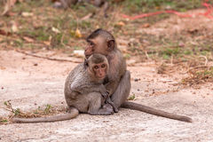 Family monkeys ( Crab-eating macaque )  cold in morning Royalty Free Stock Photo