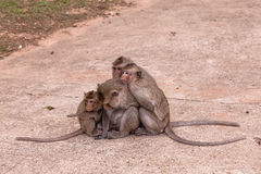 Family monkeys ( Crab-eating macaque )  cold in morning Stock Photography
