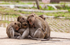 Family monkeys ( Crab-eating macaque )  cold in morning Stock Photos