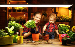 Family mother and baby grow flowers, transplant seedlings in gar. Family mother and baby son grow flowers, transplant seedlings in the gardeners greenhouse Royalty Free Stock Photos