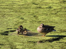 Family mother duck and ducklings on the pond. Summer royalty free stock photos