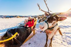 Reindeer safari. Family of mother and her daughter at reindeer safari on sunny winter day in Northern Norway Royalty Free Stock Photos