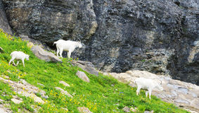A family of Mountain Goats feed in Glacier National Park. Royalty Free Stock Image