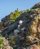Family of Mountain Goats Royalty Free Stock Photos
