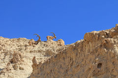 A family of mountain goats with huge curved horns Stock Image