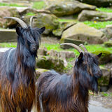 Family mountain goats Royalty Free Stock Photos