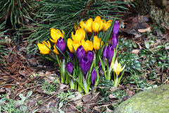 Family of multi-colored crocuses. Royalty Free Stock Image