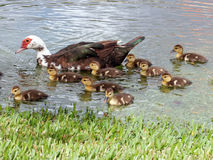 Family Female Muscovy Duck with Ducklings. Muscovy Duck and badelynge of baby ducklings in a lake royalty free stock photo