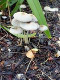 A family of mushrooms. Mushroom group growing in Mulch Royalty Free Stock Photography