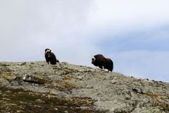 Family of Muskox Ovibos moschatus standing on horizont in Greenland. Mighty wild beasts. Big animals in the nature habitat, Arct. Ic and landscape with grass stock image