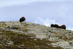 Family of Muskox Ovibos moschatus standing on horizont in Greenland. Mighty wild beasts. Big animals in the nature habitat. Arctic and landscape with grass royalty free stock photography