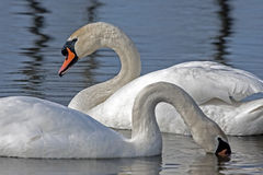 Family of Mute Swan Royalty Free Stock Images