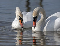 Family of Mute Swan Royalty Free Stock Photos