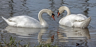 Family of Mute Swan Stock Image