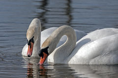 Family of Mute Swan Royalty Free Stock Photo