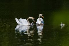 A family of mute swans stock photography