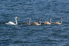 Family of mute swans. Cygnus olor swimming in blue water. Group of white and grey swans in the sea Stock Image