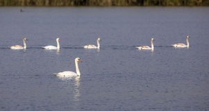Family of Mute Swans Royalty Free Stock Image