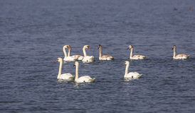 Family of Mute Swans Stock Photography