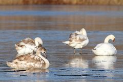 Family of mute swans  on ice Royalty Free Stock Images