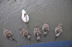 Family of Mute swans. Stock Images