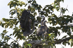 Family of Nesting great blue Herons Stock Image