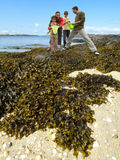Family with net and bucket looking at seaweed on beach Stock Photo