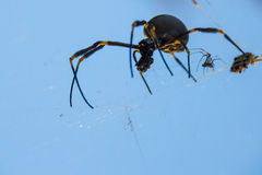 Family nightmare. Large female spider has caught prey in it`s web with a tiny male prodding beside Royalty Free Stock Image