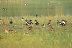 Family of northern shoveler duck. Family of northern shoveler bird sitting in the green grass along the pond. very beautiful and natural view stock images