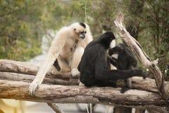 Family of Northern white cheeked gibbon Nomascus leucogenys. Royalty Free Stock Photography