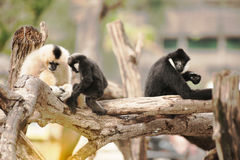 Family of Northern white cheeked gibbon Nomascus leucogenys. Family of Northern white cheeked gibbon Nomascus leucogenys in Thailand zoo Stock Photo