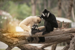 Family of Northern white cheeked gibbon Nomascus leucogenys. Stock Images