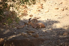 A Family of Nubian Ibexes in Ein Gedi Oasis Royalty Free Stock Photography