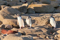 Family of NZ Yellow-eyed Penguin or Hoiho on shore. One adult and two juvenile native New Zealand Yellow-eyed Penguin, Megadyptes antipodes or Hoiho, walking or stock photo