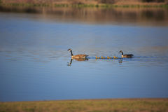 Free Family Of Canadian Geese Royalty Free Stock Photography - 97614667