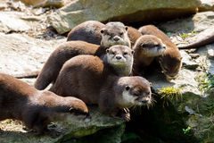 Free Family Of European Otter Lutra Lutra Stock Photography - 99193792